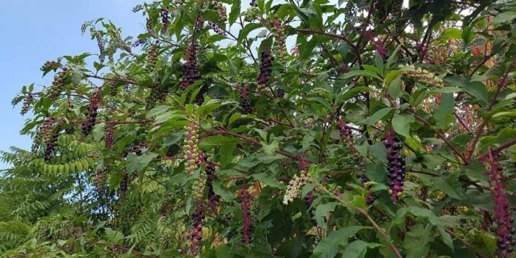 what does Pokeweed look like