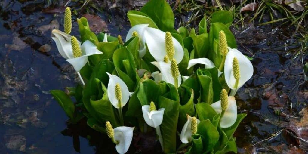 what does Skunk-Cabbage look like