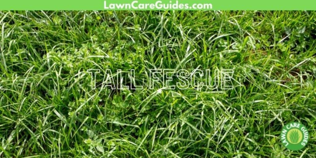 Tall Fescue seed for Michigan Lawns