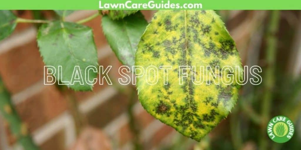 what does black spot fungus look like?